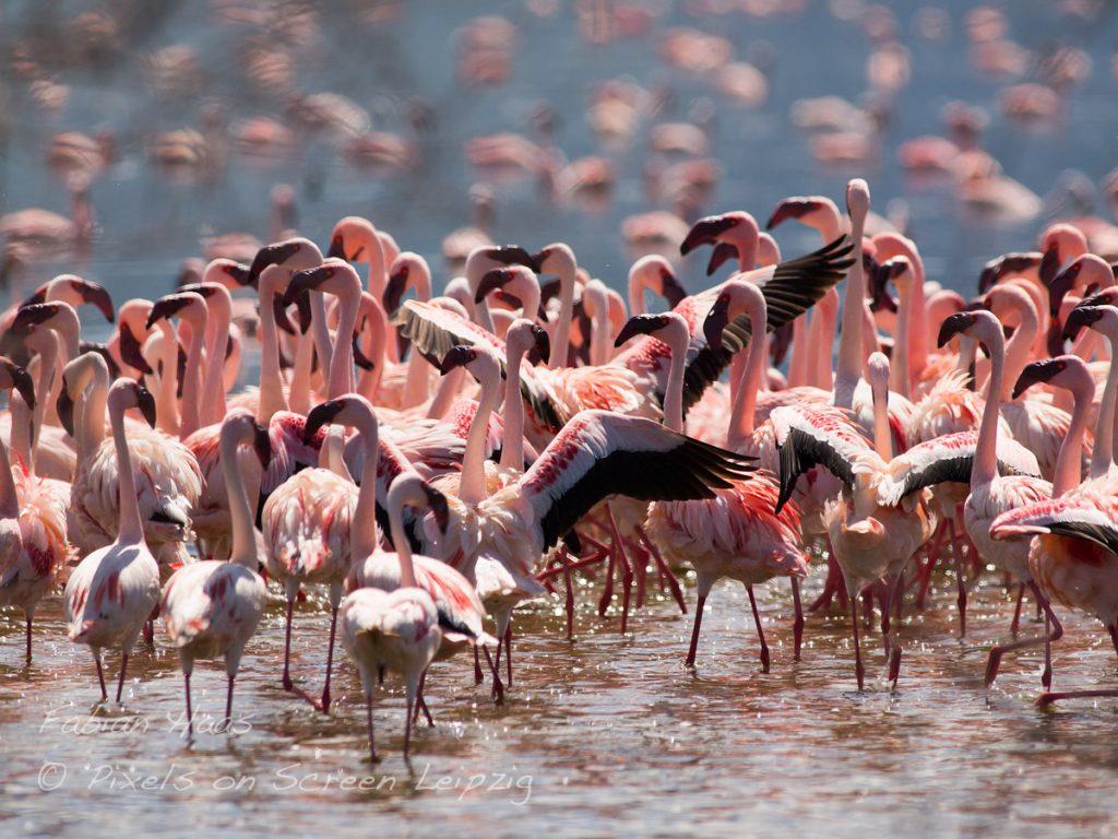 Flamingos lieben die Algen im Sodawasser